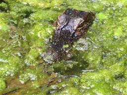 Barefoot Justine's pet pool-'gator!